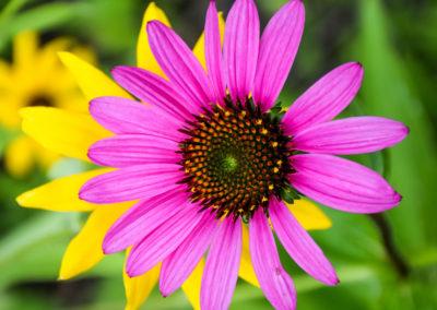 Purple Cone Flower photo