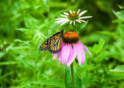Monarch eating nektar photo