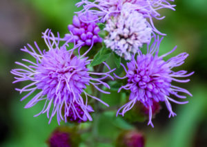 Liatris photo
