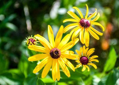 Yellow Cone Flower photo