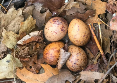 Woodcock Nest and Eggs