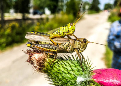 Spur-Throated Grasshoppers