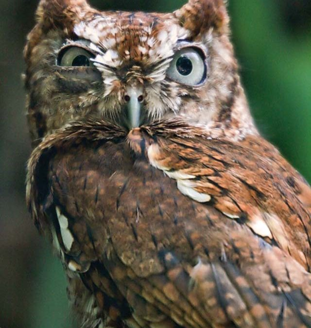 Screeching Owls