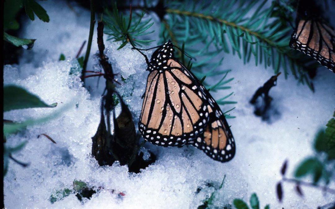 Monarch in winter