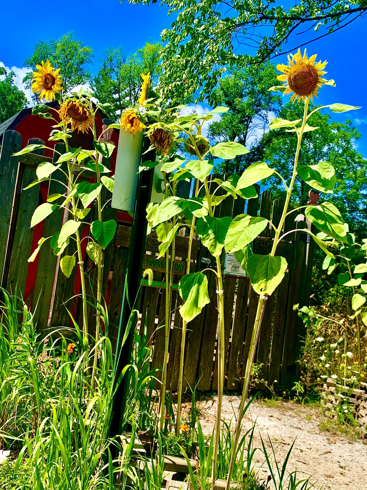 Summer Sunflowers Smiling