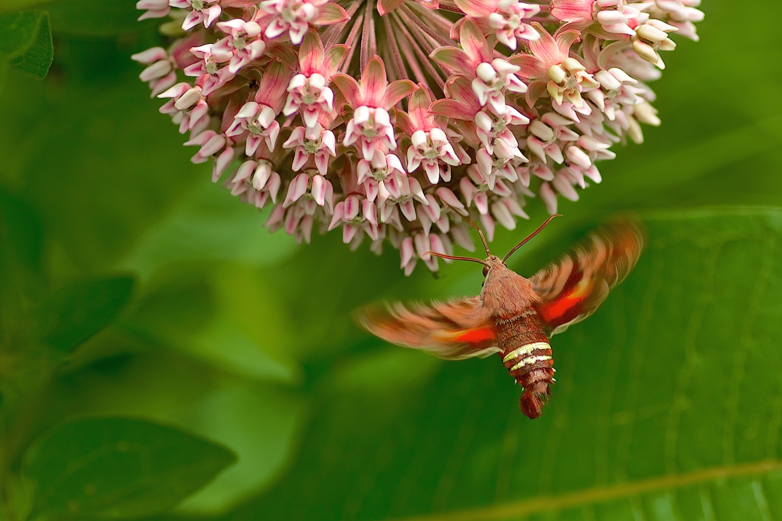 Hummingbird Moth Feeding on a Milkweed
