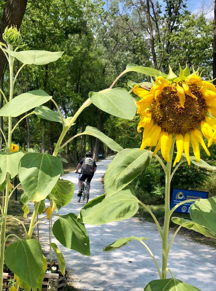 Riding with the Sunflowers