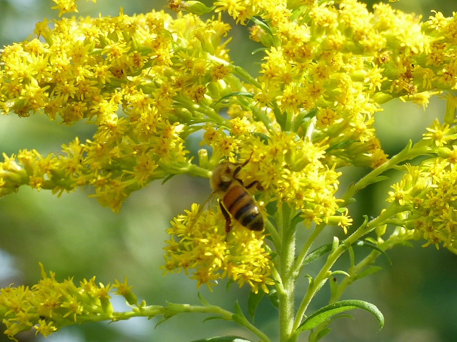 Bee On Golden Rod