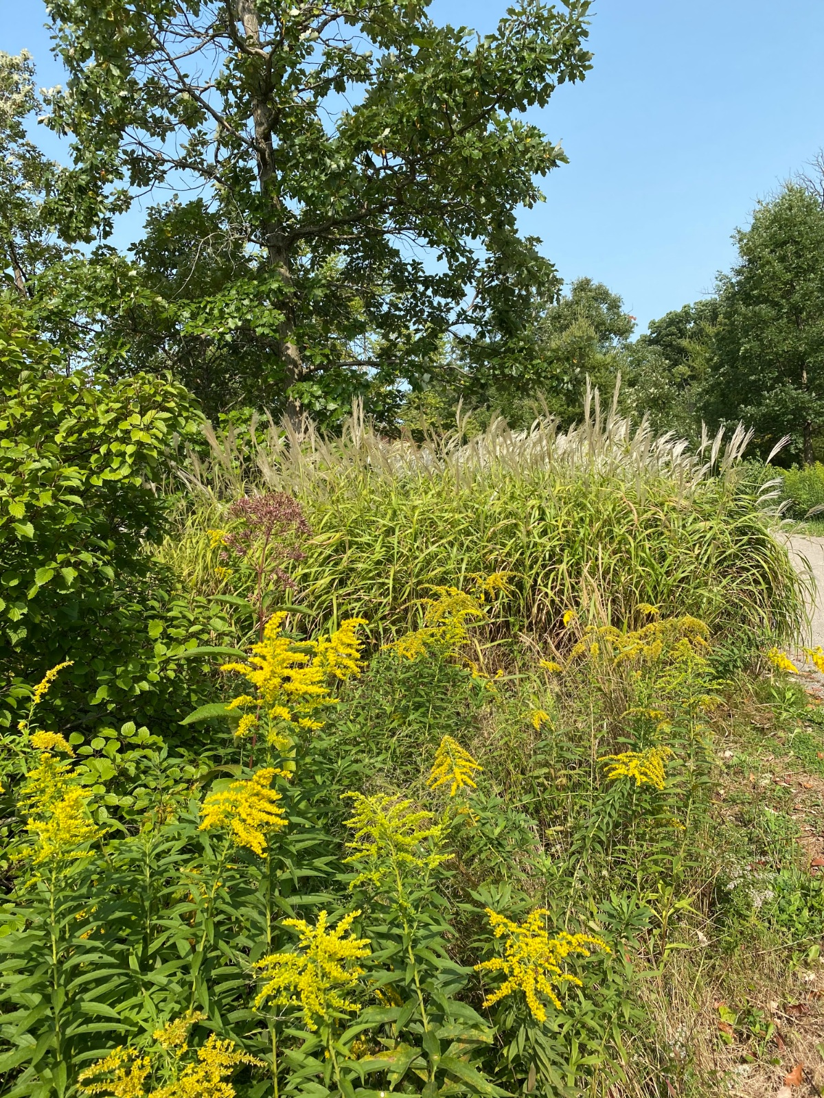 Golden rod in front of flowering grasses