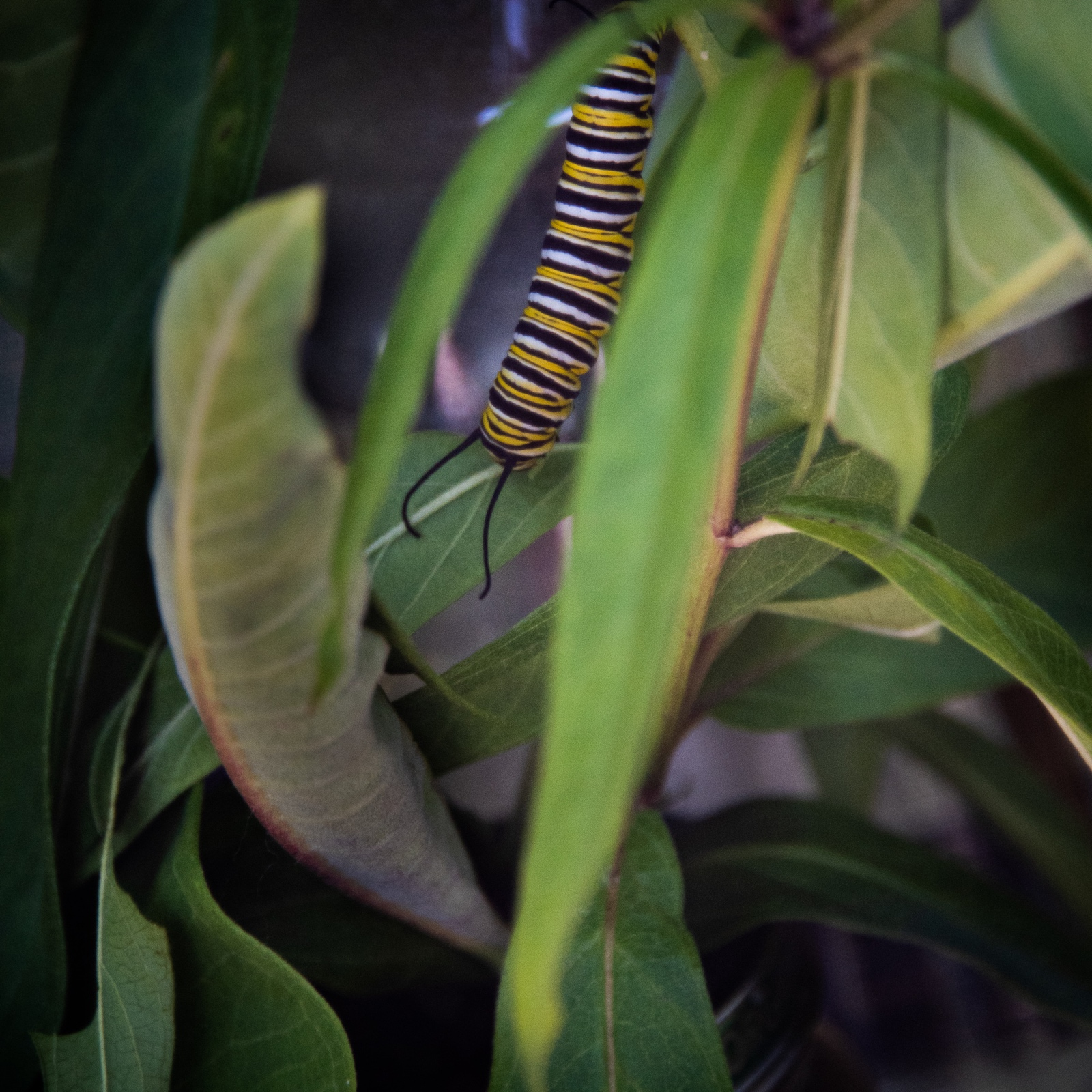 Feeding on Milkweed