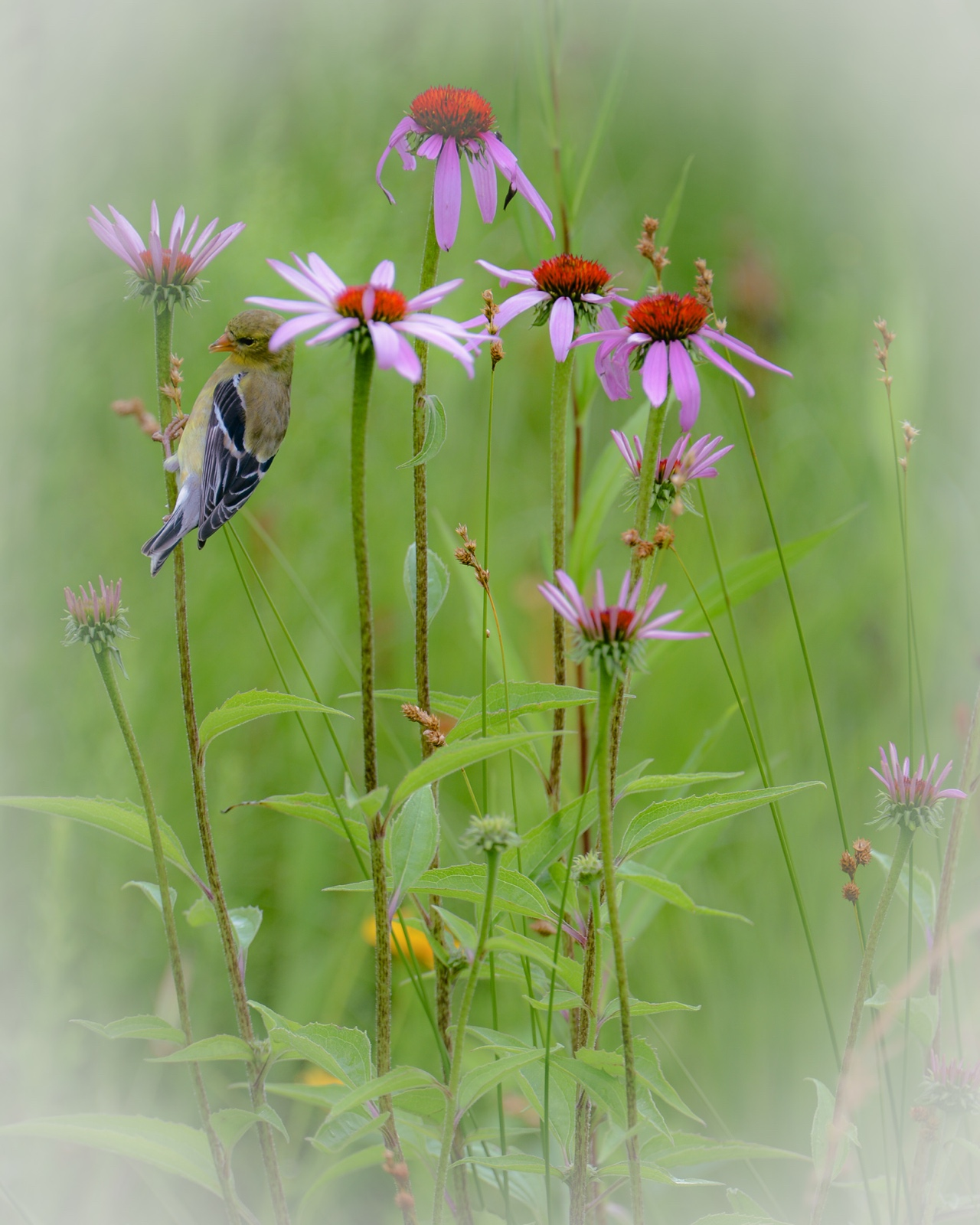 Goldfinch & Coneflowers